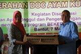 Kelompok ternak Bantul mendapat bantuan bibit ayam kampung