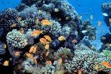 Indonesia:  Pentingnya perlindungan terumbu karang global