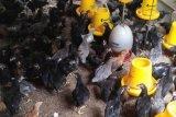 Musim pancaroba, peternak ayam kampung di Jambi keluhkan penyakit unggas