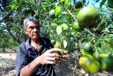 Petani memanen jeruk di Desa Penaguan Pamekasan, Jawa Timur, Sabtu (11/5/2019). Petani jeruk di daetah itu mengeluhkan serangan hama dan penyakit yang menyebabkan menurunnya produksi hingga 30 persen dari musim sebelumnya. Antara Jatim/Saiful Bahri/zk.