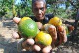 Petani menunjukkan jeruk yang rontok di Desa Penaguan Pamekasan, Jawa Timur, Sabtu (11/5/2019). Petani jeruk di daetah itu mengeluhkan serangan hama dan penyakit yang menyebabkan menurunnya produksi hingga 30 persen dari musim sebelumnya. Antara Jatim/Saiful Bahri/zk.