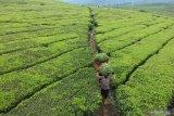 Ekspor teh Indonesia berpeluang  di tengah perang dagang