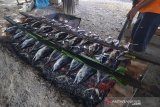 Warga membakar ikan tongkol dan ikan tuna menggunakan bara api batok kelapa di lintas jalan nasional, Indra Puri, Kabupaten Aceh Besar,  Kamis (16/5/2019). Menurut pedagang , omzet penjualan ikan tongkol dan ikan tuna bakar meningkat selama bulan ramadhan dari 50 ekor menjadi 100 ekor perhari dengan harga jual Rp15.000 hingga Rp35.000 per ekor. (Antara Aceh/Ampelsa)