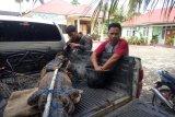 BKSDA lepas liarkan buaya muara yang ditangkap warga