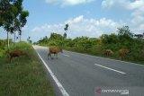 Waspadai hewan ternak berkeliaran di Jalinteng Sumatera