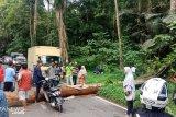 Sempat macet, pohon tumbang di Rimbo Panti sudah dievakuasi