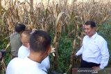 Mentan: Petani jagung harus terapkan teknologi tanam zigzag