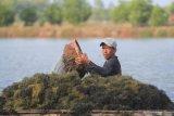 Petani rumput laut  protes limbah tambang nikel