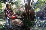 (VIDEO) - Pemusnahan pohon sawit yang ditanam pecatan TNI di Cagar Biosfer Riau