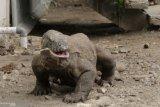 Pulau Komodo akan tetap ditutup pada 2020