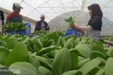 Hidroponik solusi bertani di lahan sempit menjadi produktif