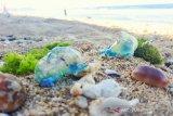 Puluhan pemudik yang berwisata di pantai tersengat ubur-ubur