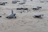 Jaga kelestarian alam, masyarakat Raja Ampat melepas 504 tukik ke laut