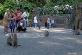 Meningkat, kunjungan wisatawan ke objek wisata Hutan Monyet Alas Kedaton Tabanan