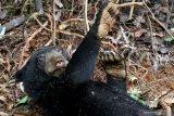 Kemunculan beruang madu ganggu aktivitas warga Tanjung Emas
