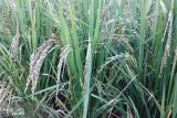 Kabupaten Tanah Datar daftarkan tiga varietas unggulan nasional
