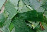 Mahasiswa Unimed  membuat spray anti air dari daun pisang