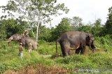 Operasi penggiringan gajah liar di Riau berlarut-larut akibat terganggu bunyi meriam karbit