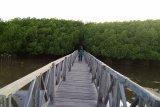 Menitip asa  di hutan mangrove Tongke-Tongke