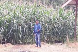 Desa Mampuak I sentra tanaman jagung di Barito Utara
