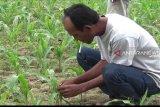 Puluhan hektare tanaman jagung petani OKU Timur diserang hama ulat