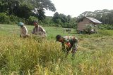 Babinsa Bonggo dampingi warga menanam padi gogo hingga panen