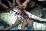 Perut Buaya pemangsa warga Siak dibelah, potongan tubuh ditemukan (VIDEO)
