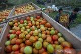 Banyak tomat dijual ke provinsi lain