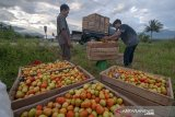 Petani di Kabupaten Sigi panen raya tomat