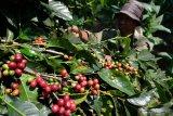 Polisi buru perusak ratusan tanaman kopi di Tretep Temanggung