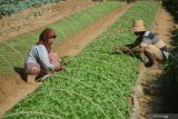 Cuaca mendukung, penyebaran benih tembakau petani lereng Sumbing lebih awal