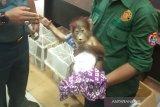 BC Dumai gagalkan penyelundupan Orangutan dan Musang Luwak