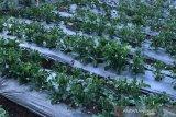 17 hektare lahan hortikutura di Dieng diperkirakan terdampak embun upas