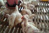 Peternak ayam di Kulon Progo minta pemerintah stabilkan harga ayam