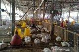 Peternak ayam di Gunung Kidul kosongkan kandang karena harga anjlok