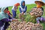 Kementan menyebut 200 kabupaten bisa menjadi sentra bawang putih