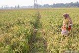 Petani Pesisir Selatan diajurkan ikut asuransi, tekan kerugian kalau gagal panen