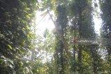 Lampung Timur Panen Lada