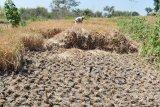 Seluas 1.992 hektare lahan padi di DIY puso akibat kekeringan