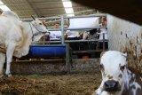 populasi sapi potong  meningkat signifikan setiap tahun