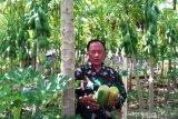 Danramil di Aceh Jaya kembangkan tanaman pepaya madu