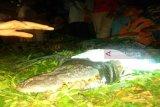 Warga tangkap buaya tiga meter di objek wisata Danau Meduyan Inhu