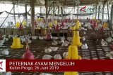 VIDEO: Peternak ayam keluhkan harga anjlok