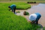 Pemerintah perlu bibit  unggul hasilkan 85 juta ton padi