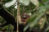 Sebanyak tiga orangutan dilepasliarkan di Taman Nasional Bukit Baka-Bukit Raya