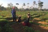IPB diseminasikan mikroba dari gunung untuk pertanian