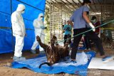 KLHK gencarkan operasi pembersihan jerat satwa dilindungi setelah harimau Inung Rio mati