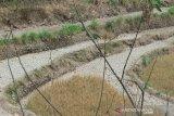 Pemkab: sawah kekeringan di lahan tidak beririgasi