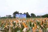 Balitbangtan sebut fosfat alam tingkatkan produktivitas jagung