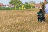 Sebagian besar petani Yogyakarta panen pada awal kemarau
